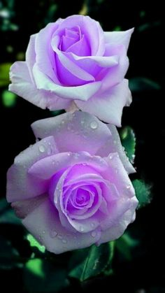 Purple rose with water reflection Love Rose Flower, Beautiful Rose Flowers, Rare Flowers, Pretty Roses, Exotic Flowers, Amazing Flowers, Purple Flowers, Lilac Roses, Yellow Roses
