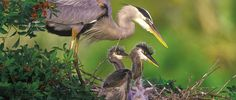 Great Blue Herons by Arthur Morris | Venice Area Audubon, Florida