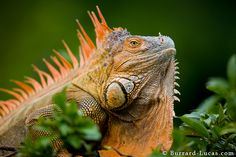 Green iguana (iguana iguana). Photo by Burrard-Lucas