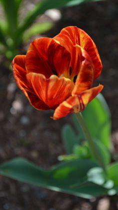 This is my favorite.. I have never seen a tulip with these colors.. Gorgeous!!