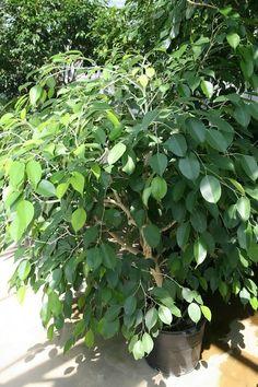 NASA's list of the best air-filtering houseplants. Gerbera Jamesonii, Nasa, Ficus, Best Air Filter, Breathe Easy, Houseplants, Filters, Indoor, Sweet Home