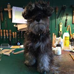 Humphrey Hanson leading a hand at the studio-workshop #miniatureschnauzer #leatherwork #studiodog