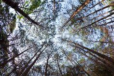 dal basso: alberi di pino dal basso