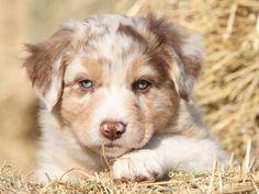 Als Hütehund hat derAustralian Shepherd ein Wesen, das ihn wunderbar für diese verantwortungsvolle Aufgabe qualifiziert. Wer ihn als Familienhund halten möchte, sollte se ...