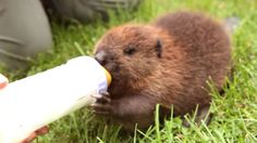 An orphaned baby beaver may just be the cutest thing I've ever seen!