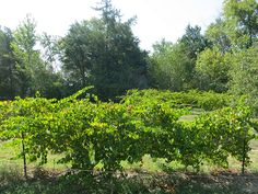 Back Yard Grape Vineyards For additional home business ideas take a look at https://workfromhomeideas.org