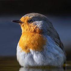 Rob van Mourick sur Instagram: European Robin, Erithacus rubecula - Roodborst (Muscicapidae) European Robin in the last few rays of the day. #birdphotography #roodborst…