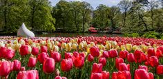 KEUKENHOF GARDEN, HOLLAND  The Dutch are known for lots of pretty things--windmills, wooden shoes, canals. But its their amazing bulb fields that get us every time. Think corn fields, but with tulips. And for eight weeks between March and May, Keukenhof Garden, located just outside Amsterdam, showcases millions of the most gorgeous blossoming bulbs.