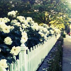 Roses + white picket fence.