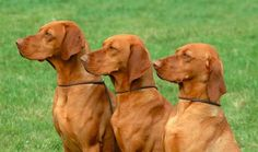 hungarian vizsla, clever, friendly and very patient Most Beautiful Dog Breeds, Beautiful Dogs, Hungarian Vizsla, Australian Labradoodle, Dog Heaven, Cesar Millan, Hunting Dogs, Puppy Love, Doge