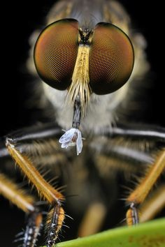 Robberfly & Prey - incredible detailed focus on the eyes.