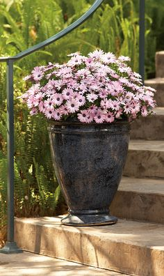 Such a nice way to start a day in the spring! This beautiful urn full of Soprano Light Purple Osteospermum will put a smile on the face of everyone walking by.