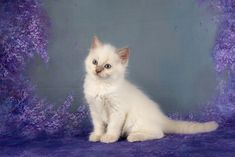 Drax A Zwollywood Cat. Weeks old Ragdoll kitten. Lilac colourpoint from the Guardians of the Galaxy litter. Cattery, Kittens, Cats, Guardians Of The Galaxy, Lilac, Board, Animals, Cute Kittens, Gatos