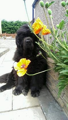 My favourite dog breed and favourite flower all in one photo!