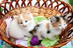 Three-Colored Kittens in the Basket puzzle in Animals jigsaw puzzles on TheJigsawPuzzles.com. Play full screen, enjoy Puzzle of the Day and thousands more.