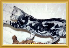Sierra Gold Bengals is a California Breeder of Championship Quality Silver Bengal Cats, Brown Bengal Cats, Gold Bengal Cats, Spotted Bengal Cats and Marble Bengal Cats for Shows, Breeding and as Family Pets