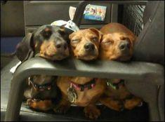 Dachshunds....!!!!!!!! #Dachshund #doxie darlin' #Wiener