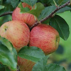 Apples getting ready for harvest! Apple Plant, Apple Orchard, Apples, Lightroom, Harvest, Naked, Fruit, Plants, Plant