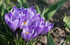 Crocus, Blossom, Bloom, Spring