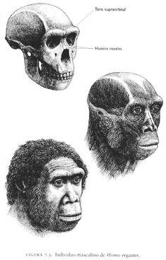 HOMO ERGASTER: Apareció hace unos 1,8 millones de años, y desapareció hace 1,5 mill de años. Tanto el desplazamiento, como los forma y proporciones corporales, son similares a la de los humanos modernos. No se observa dimorfismo sexual. Cerebro de 850 cm3. Este le otorgó mayor inteligencia y le permitió adaptarse a nuevos hábitats. En muchos aspectos el cráneo se asemeja al de H. sapiens. Es un homínido omnívoro. El ergaster es el primer homínido con capacidad para un lenguaje articulado.