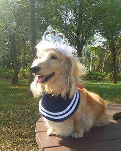 #臘腸狗#littledog #愛犬#短足部#sausagedogcentral #excellent_dogs  #sausagedog  #dachshund #doglife #happydog  #doglovers #longdog #mydog  #instadog  #ミニチュアダックス #ダックス  #weinerdog #justdachshunds #minidoxie  #dachshundunited  #doxielove  #bestfriends_dogs  #dachshundsunited #loves_dogs #dachshunds  #dachshundlove  #dachshundsonly #dachshundpuppy  #great_captures_dogs #thedoxieworld