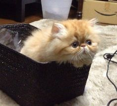 Persian kitty in a basket - kitty, animals, cats, Persian, basket