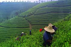 Experience Chengdu: Private Tea-Making Tour of Mengdingshan Tea Plantation - Lonely Planet
