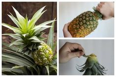 Want to grow an indoor pineapple plant from a grocery store pineapple? This shows you how to prepare the fruit, take the right cutting, and root it for a new plant.
