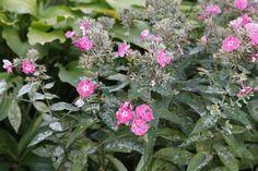 Phlox mit Mehltau befallen Clematis, Tips, Flowers, Plants, Outdoor, Gardening, Detail, Happy, Mascarpone