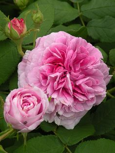 Gallica Rose: Rosa 'Président de Sèze' (France, 1828)