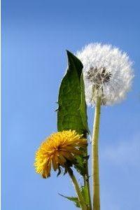 Dandelion (Taraxacum officinale) - FREE Online Guide to Wild Edible & Medicinal Plants Taraxacum Officinale, Wild Edibles, Medicinal Plants, Herbalism, Dandelion, Health, Flowers, Fitness, Salud