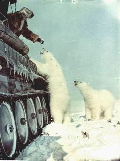 A Russian soldier in a tank, feeding condensed milk to polar bears c. 1950