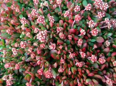 CRASSULA ANOMALA SHOWING ITS WINTER COLOURS.THIS PLANT IS A GREAT GROUNDCOVER.