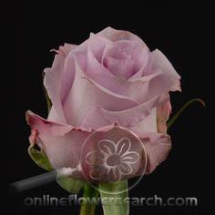 Rose Ocean Song (aka Boyfriend) - Cut Flower Wholesale, Inc. -- leading wholesale florist in Atlanta, GA U. Lavender Flowers, Cut Flowers, Purple Flowers, Ocean Song Rose, Oceans Song, Wholesale Florist, Rose Varieties, Different Flowers, Bouquets