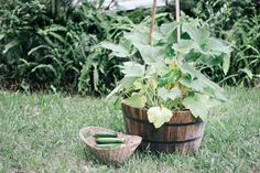 If you're short on garden space, growing zucchini vertically is a smart alternative. With a reputation for being a sprawling plant, zucchini grows quickly and tends to...