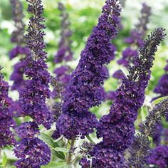 Buddleja davidii (Butterfly bush) A large easy flowering shrub to add some colour at the end of your garden. Comes in a variety of purples and white. Cut back hard in spring.
