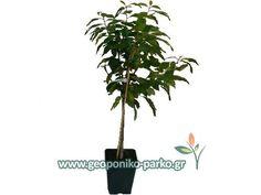 Καρποφόρα - Οπωροφόρα δέντρα : Καστανιά Δέντρο Πηλίου - Μαρώνι - Castanea vesca