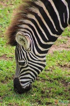 See amazing wildlife at Australia's famous Dubbo Zoo