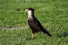 Carancho Bald Eagle, Bird, Animales, Birds, Birdwatching