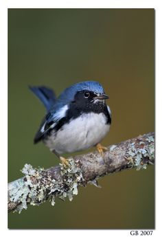 Black-throated blue warbler  (Setophaga caerulescens) breeds in the interior of deciduous and mixed forests in eastern N.A.