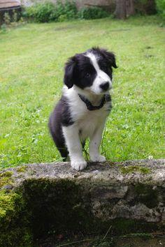Sam Border Collie puppy