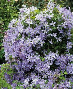 Buy Clematis 'Prince Charles' from Sarah Raven: Very reliable and long-flowering, covered in light blue flowers from late June until the end of August. Long Flowers, Beautiful Flowers, Rare Flowers, Prince Charles, Clematis Vine, Clematis Plants, Purple Clematis, Clematis Flower, Organic Compost