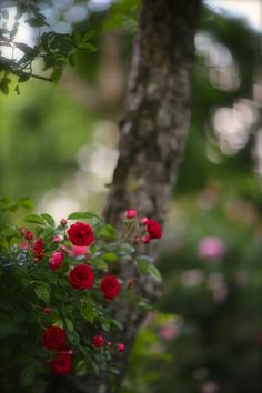 Under the Rose。 Wallpaper Nature Flowers, Beautiful Flowers Wallpapers, Flower Phone Wallpaper, Beautiful Rose Flowers, Beautiful Nature Wallpaper, Flowers Nature, Amazing Flowers, Pretty Flowers, Beautiful Gardens