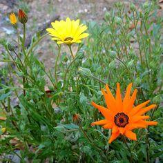 Feels like spring #orange #yellow #flowers #outdoors #nature #California
