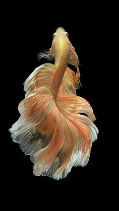 Some interesting betta fish facts. Betta fish are small fresh water fish that are part of the Osphronemidae family. Betta fish come in about 65 species too! Colorful Fish, Tropical Fish, Beautiful Creatures, Animals Beautiful, Betta Fish Types, Fauna Marina, Carpe Koi, Fotografia Macro, Beta Fish
