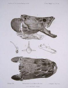 The Skull of an arapaima (Arapaima gigas)  Source