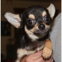Sidney is an adoptable Chihuahua Dog in Kalamazoo, MI. Dear little Sidney is four pounds of pure sweetness, and is playful and loving. He came from a show kennel where dogs may be 'put down' if there ...