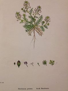 19thc Hand Coloured Sowerby Botanical Engraving - Rock Hutchinsia - CLI