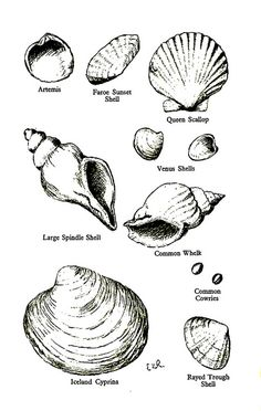 For seashell drawing grade Shell Tattoos, Ocean Themes, Natural Forms, Sea Creatures, Painting & Drawing, Drawing Board, Tattoo Inspiration, I Tattoo, Sea Shells