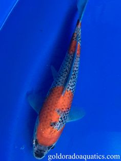"""Meaning """"five colors"""", the Goshiki is similar to the Kohaku, but develops a dark coloration on the skin which can range from a light gray to deep black. While the Goshiki is an old breed of koi, it is only recently that quality Goshiki have been produced. Koi Fish For Sale, Kohaku, Tropical Fish, Pond, Whale, Range, Deep, Gray, Colors"""